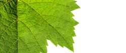texture of grape leaves isolated on white background
