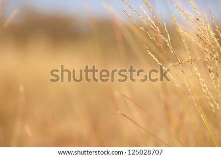 texture of grassland, yellow grass flower blowing in the wind, good for background