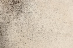 Texture of gray fur from a short hair horse