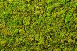 Texture of green decorative moss. Natural moss for interior design.