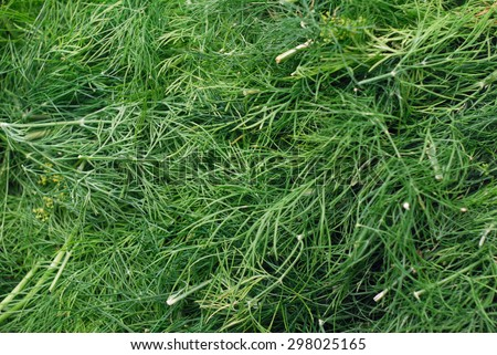 Texture of green, fresh, freshly cut from garden dill. You can see all the most small part of this very useful and healthy plants that has many vitamins. Shot in cloudy daylight