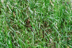 Texture of green grass. Juicy grasses in the summer sunlight. Wild uncultivated herbs. A natural natural backdrop.