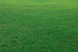Texture of green grass lawn in garden