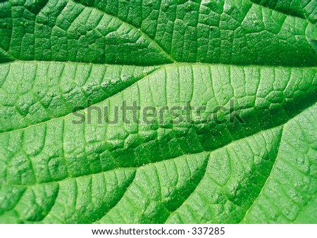 Texture of leaf of nettle for backgrounds