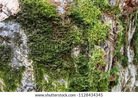 Texture of Moss. Fon Moss. Green moss on a tree, moss background #1128434345
