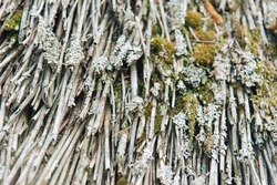 Texture of old thin branches and moss