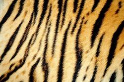 texture of real tiger skin ( fur )