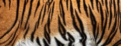 texture of real tiger skin, fur. Abstract background