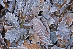 Texture of some leaves covered by snow and ice on a winter day