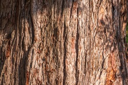 Texture of the bark of Giant Sequoiadendron tree. Sequoiadendron giganteum or giant sequoia, or giant redwood, Sierra redwood, Sierran redwood, Wellingtonia