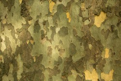 Texture of the bark of the Platanus tree.