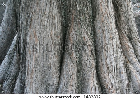 Texture of the base of a bald cypress tree