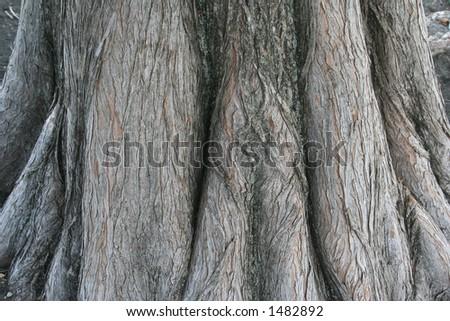 Textura da base de uma árvore do cypress bald