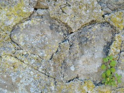 Texture of the lichen on the stone wall,the yellow lichen stay on the old stone wall together the small plant.Lichen background.