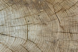 Texture of wood grain with tree growth rings