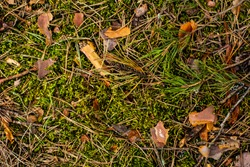 texture on the ground in the forest fir cones, moss, grass, pine needles, leaves. Forest soil texture background