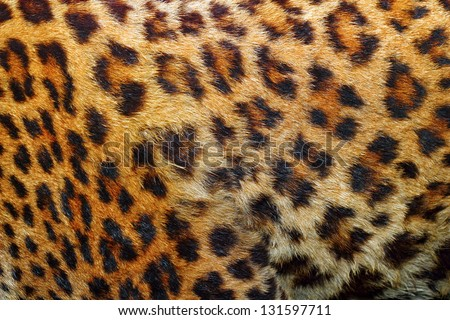 textured detail of leopard fur ( panthera pardus )