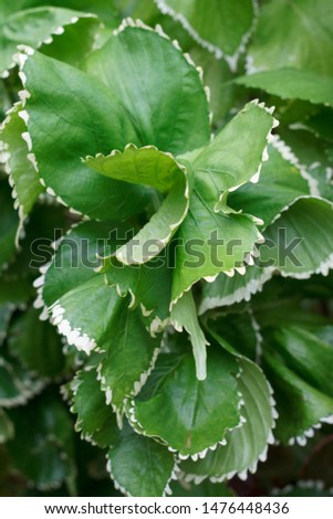 textured leaves of tropical plants with edging on the edges