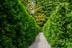 Textured natural background of many green leaves of thuja trees growing as shrubs that grow in a hedge or hedgerow in sunny spring garden