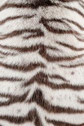 textured of real white bengal tiger fur