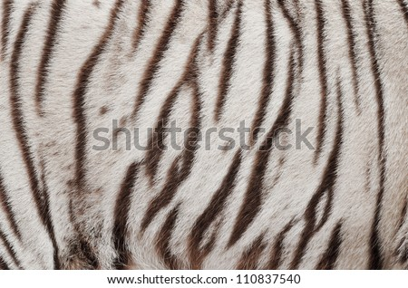 textured of real white bengal tiger fur