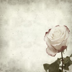 textured old paper background with beautiful cream and pink rose flower