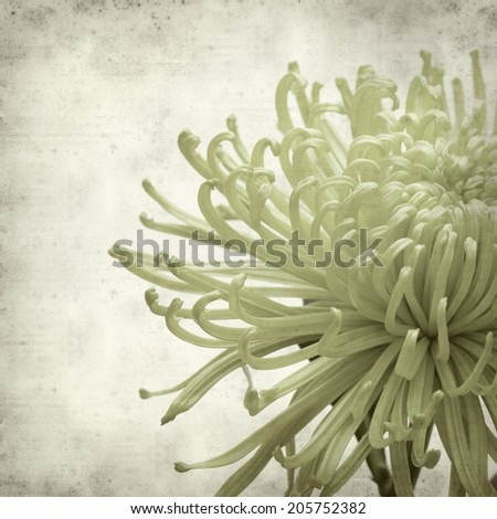 textured old paper background with green chrysanthemum; #205752382