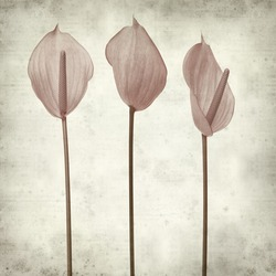textured old paper background with pink Anthurium isolated