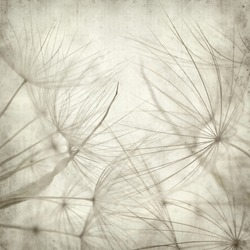 textured old paper background with seedhead of salsify, Tragopogon;