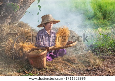 Thai asian old woman farmer working winnow rice separate between rice and rice chaff identity at rice field in Thailand