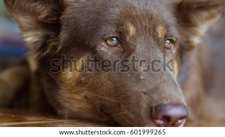 2932147cf3b Thai Brown Dog Background