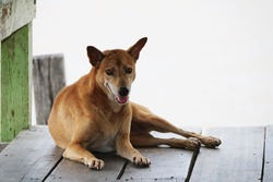 Thai brown stray dog laying down on the wooden floor on white background. It is a dog that lives on the streets or temple and does not have an owner.