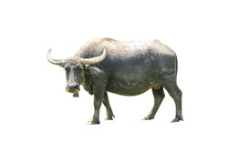 Thai buffalo isolated on the white background,animal thailand