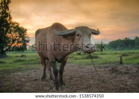 Thai buffalo, plowing, animals have you
