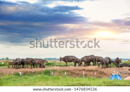 Thai buffalo stained in the green grass fields,funny animal,Buffalo in the countryside thailand #1476834536