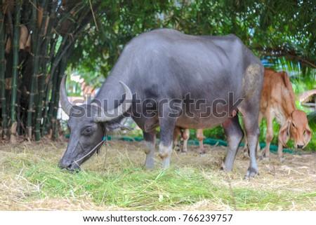 Thai Buffalo ,Thailand #766239757
