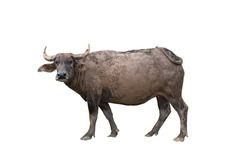 Thai buffalo with mud on body on white background,happy,dirty,looking,life of buffalo at countryside,thailand,die cut