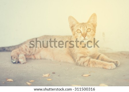 Thai cat lay down beside concrete wall in vintage style