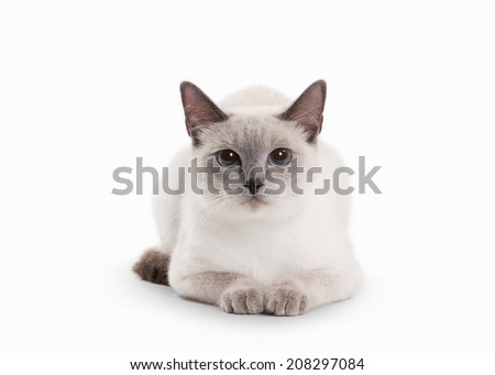 Stock Photo Thai cat on white background