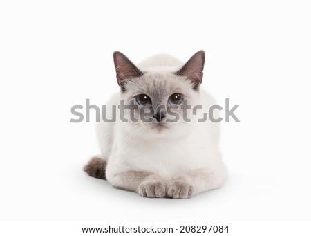 Stock Photo Thai cat on white background