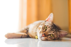 Thai cat or Tabby cat, soft to focus, pet at home and pet store concept.