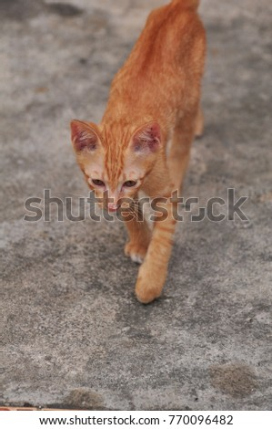 Thai cats play hide and seek Looking around.Smart Cat.Tabby cat plays on the floor.Little white cat and brown are fun to play with. #770096482