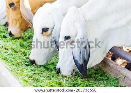 Thai cow eating grass , Thai cow Farm , Many white cow , cow eating grass shallow dof