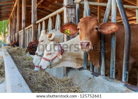 Thai cows feeding hay in the farm