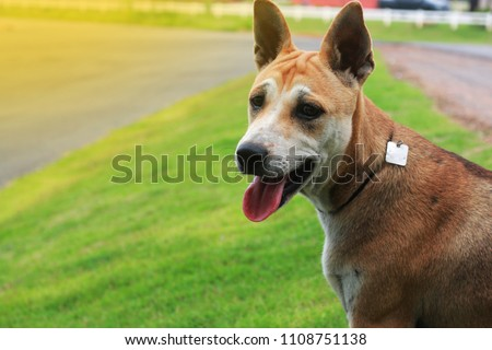thai dog happy outdoors on the...