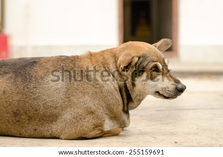 Thai dog lay down in temple