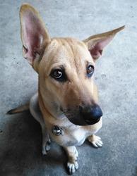 Thai dog potrait.