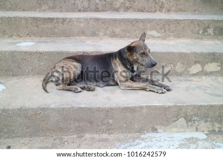 Thai dog style, thai ridgeback dog #1016242579