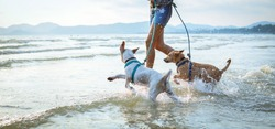 thai dogs enjoy playing on beach with owner