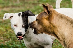 Thai dogs scare each other in an aggressive behavior